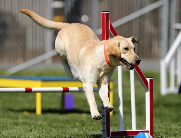 Labrador jumping over agility jump