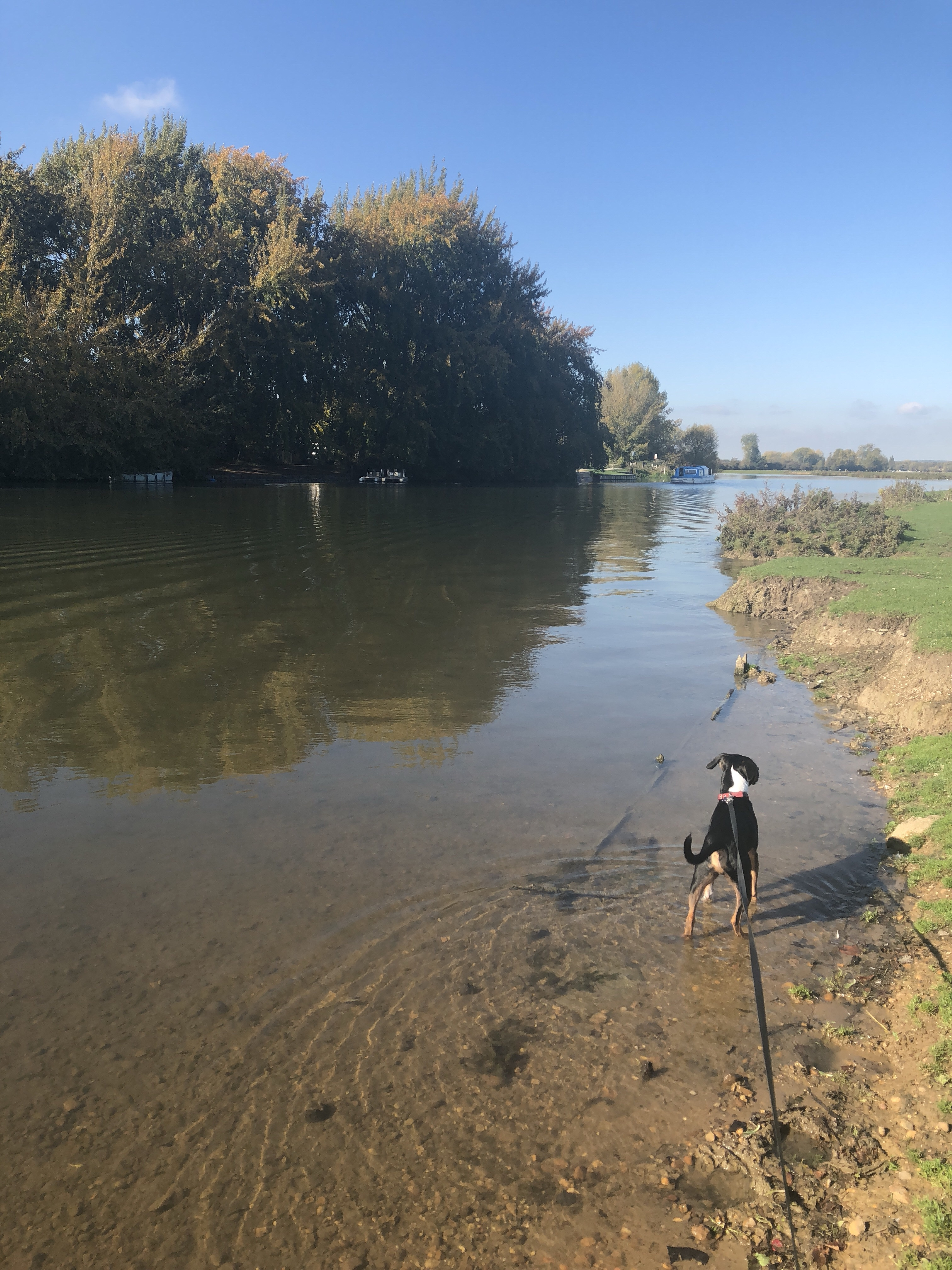 Dog in the river at Port Meadow