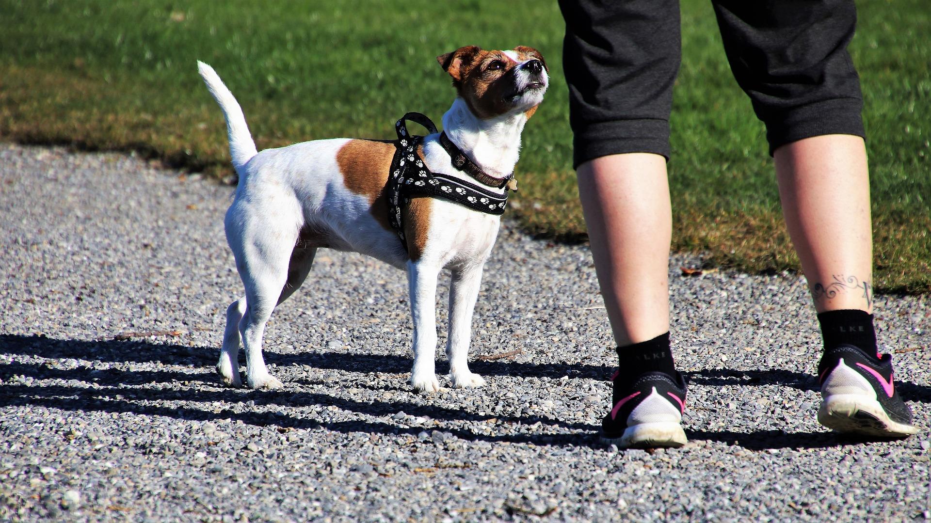 dog walk jack russell